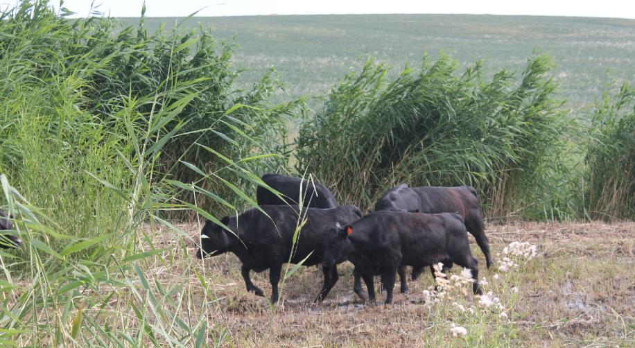 ТҮРКІСТАН: Сарыағашқа алғаш рет асыл тұқымды ірі қара әкелінді