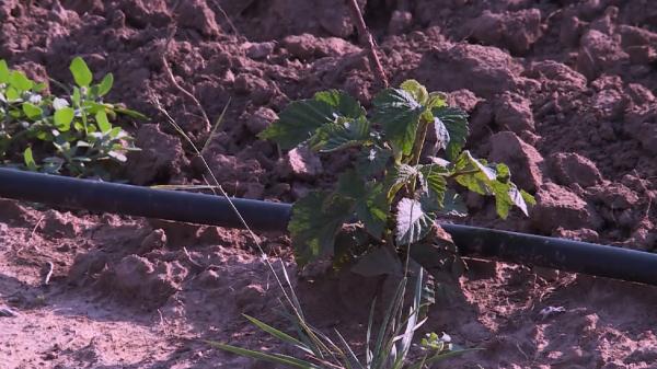 Алматы облысының Райымбек ауданында қарақат пен таңқурай өсіретін шаруашылық құрылды