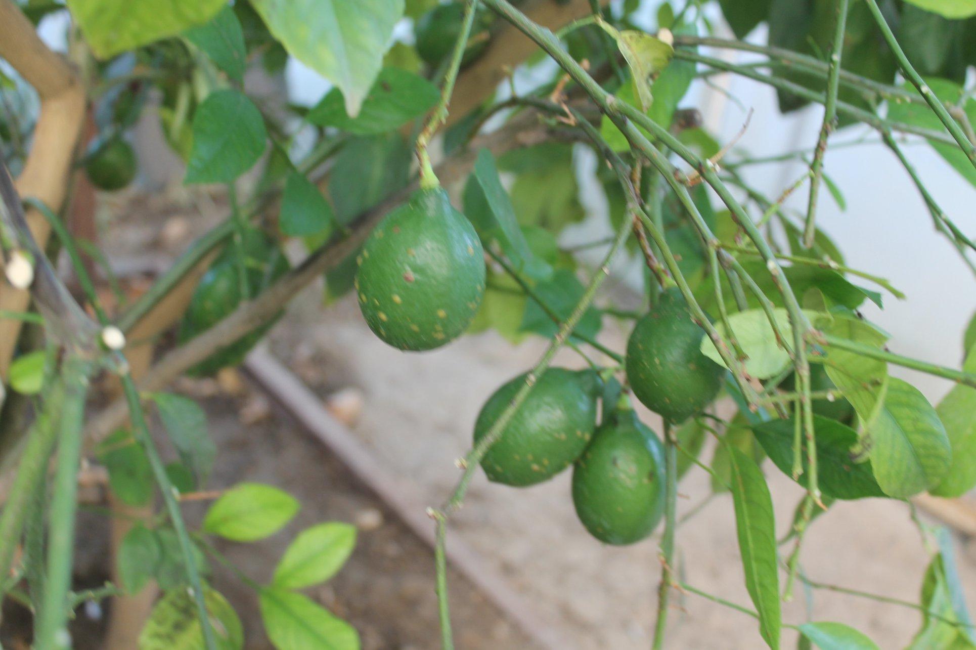 ТҮРКІСТАН: Кентаулық шаруа лимон ағашынан мол өнім алуды көздеп отыр