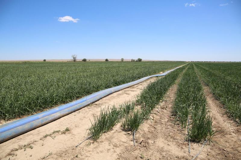 Қордайдан Шуға аттанған 500-ге жуық дүнген отбасы 150 гектар жерге пияз өсіруде